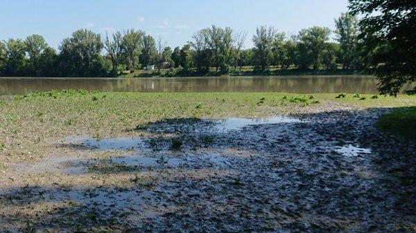 A Duna áradása után fennmaradt vizes tócsákban is magas a lárvasűrűség.